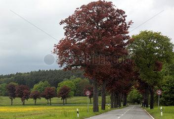 Thyrow  Deutschland  von Rotbuchen gesaeumte einsame Landstrasse