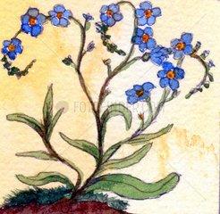 Vergissmeinnicht Blume
