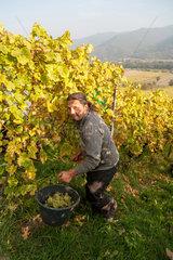 Weier im Thal  Frankreich  elsaessisches Weinbaugebiet  wo typischerweise helle Trauben ueberwiegen