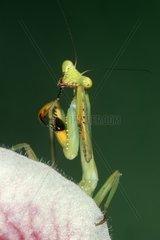 Mantis on flower- Stagmatoptera biocellata