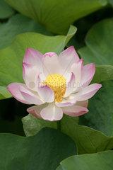 Pamplemousse  Mauritius  Lotusbluete im SSR Botanical Garden