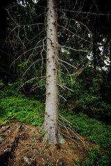 Goslar  Deutschland  Baumstamm einer Fichte