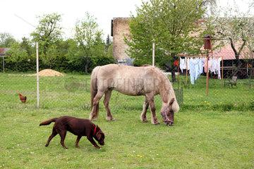 Birkholz  Deutschland  Islandpferd  Hund  Huhn und Waesche an der Leine