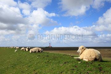Westerhever  Deutschland  Schafe auf dem Deich