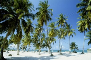 Carribean  Dominican Republic  Playa Bavaro  coco palms  tropical sea  white sand