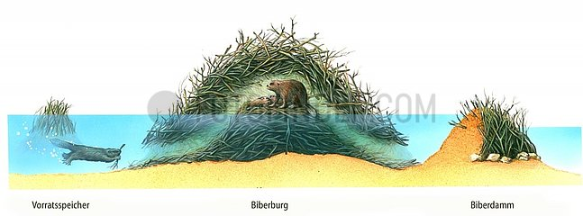 Biber Vorratsspeicher Biberburg Biberdamm