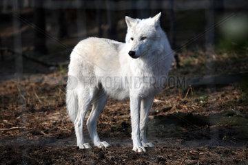 Baruth  Deutschland  Polarwolf im Wildpark Johannismuehle