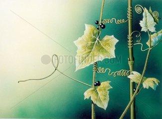 Bewegungswachstum Kletterpflanzen Rote Zaunruebe Giftpflanze