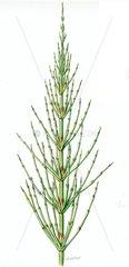 Heilkraeuter Kraeuter Ackerschachtelhalm Equisetum arvensis