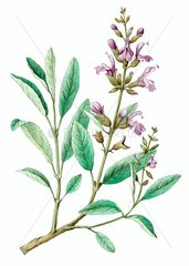 Serie Heilkraeuter Kraeuter Echter Salbei Serie Salvia officinalis