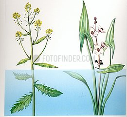 Schwimmpflanzen Sumpfkresse Rorippa amphibia Pfeilkraut Sagittaria sagitti