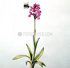 Kleines Knabenkraut Orchidee