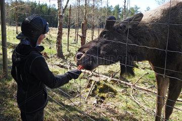 Lessebo  Schweden  Junge fuettert einen Elch