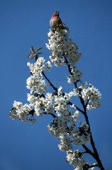 singender Vogel im Fruehling