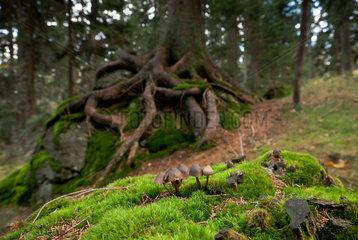 Regen  Deutschland  Pilze im Wald an den Haengen des Berges Grosser Arber