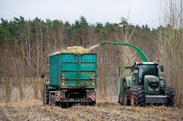 Luckau  Deutschland  Bauern bei der Ernte einer Pappelplantage
