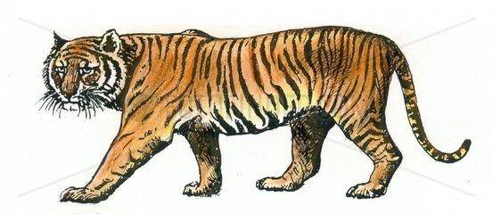 Koenigstiger Serie Raubkatzen