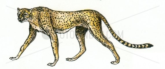 Gepard Serie Raubkatzen