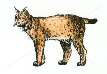 Luchs Serie Raubkatzen
