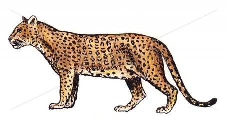 Leopard Serie Raubkatzen