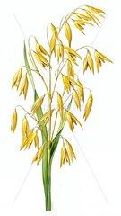 Serie Getreide Hafer Avena sativa