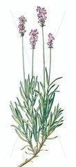 Heilkraeuter Kraeuter Echter Lavendel Lavandula angustifolia