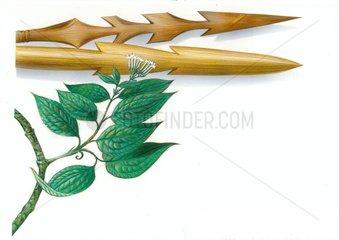 Brechnuss Strychnos toxifera vomica