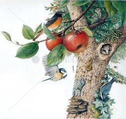 Lebensraum Apfelbaum Serie Voegel