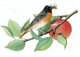 Gartenrotschwanz Serie Voegel Vogelarten Serie Singvoegel