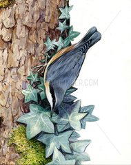 Kleiber Serie Voegel Vogelarten Serie Singvoegel