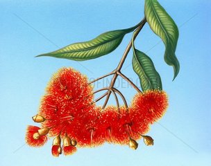 Eukalyptus Eukalyptus ficifolia