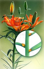 Feuerlilie Lilium bulbiferum