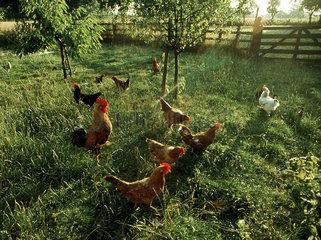 Paradiesische Zustaende: Eier von derartig gluecklichen Huehnern  die sogar unter den Fittichen eines Hahnes stehen  kommen selten auf den Verbrauchertisch.