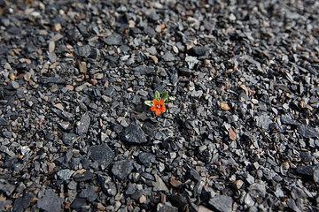 Blume auf einer Kohlenhalde