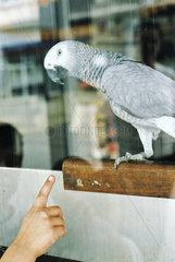 Papagei im Fenster