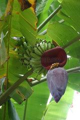 Singapur  Bananenstaude auf der Insel Pulau Ubin
