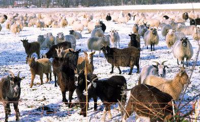 Schafe und Ziegen