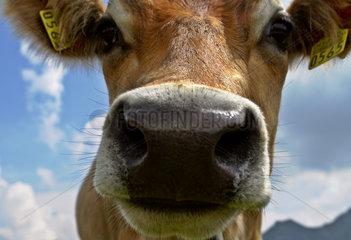 Kuh ganz nah