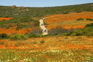 PKWs auf der Rundfahrt durch das Skilpad Wildblumen Naturreservat waehrend der Fruehlingsbluete  Kamieskroon  Namakwaland  Nordkap  Suedafrika