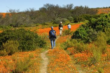 Besucher wandern durch dichte Bluetenteppiche im Skilpad Wildblumen Naturreservat  Namakwaland  Suedafrika