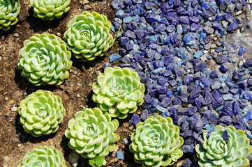 gruene Pflanzenrosetten und blaue Steine