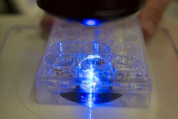 Gewebeproben unter Mikroskop mit UV-Licht