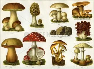 essbare und giftige Pilze  Illustration  1900