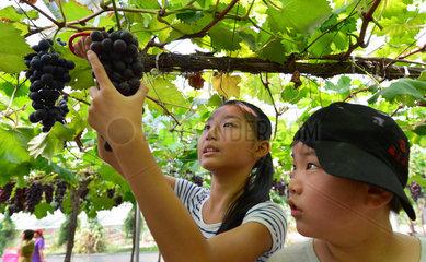 CHINA-FUJIAN-FUZHOU-GRAPES-PICKING-SUMMER (CN)
