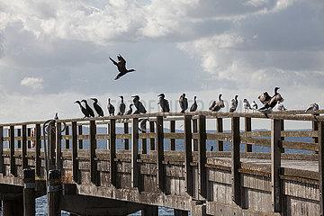 Great Black Cormorants - Ruegen