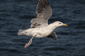 Seagull - Ruegen