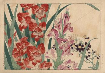 Poor man's orchid  Schizanthus pinnatus  and gladiolus  Gladiolus communis.