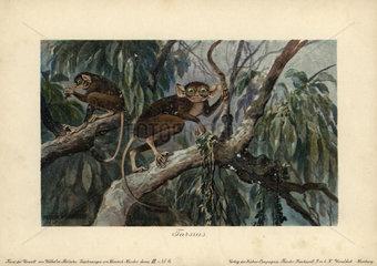 Tarsius  haplorrhine primate genus that can be traced back 45 million years.
