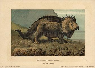 Triceratops prorsus Marsh.  extinct genus of herbivorous ceratopsid dinosaur of the Cretaceous Period