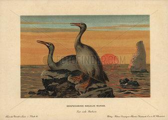 Hesperornis regalis  extinct genus of flightless aquatic birds that lived in the Cretaceous period.
